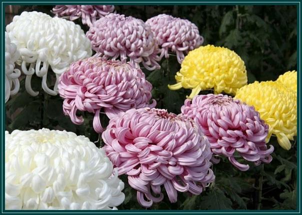 Risultati immagini per il crisantemo